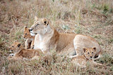 female Lion and cubs in Masai Mara Kenya