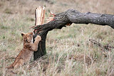 lion cub playing Masai Mara reserve in Kenya Africa