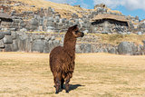 Alpaca  Sacsayhuaman ruins peruvian Andes  Cuzco Peru