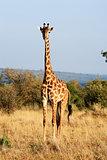 Maasai or Kilimanjaro Giraffe grazing Kenya