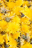Dandelions background