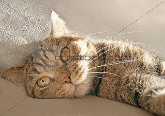 British Cat Laying in Sun