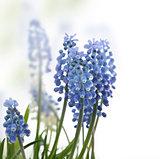 Muscari Flowers