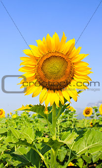 Beautiful sunflower with green leaves.