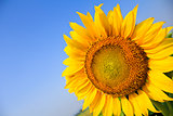 Beautiful sunflower isolated naturally on blue sky.