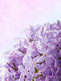 Lilac flowers. Abstract background. Macro photo.