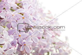 Background with lilac bouquet.