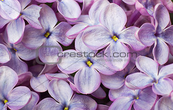 Beautiful spring lilac flowers. Macro photo.