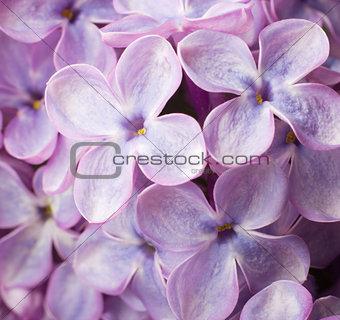 Beautiful spring lilac flowers. Macro photo.