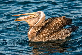 peruvian pelican swallowing fish in the peruvian coast at Piura