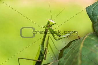 praying mantis in the peruvian Amazon jungle at Madre de Dios Pe