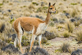 Vicuna in the peruvian Andes Arequipa Peru