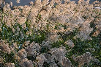 Sunlit japanese grass