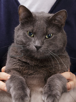 british shorthair cat sitting on hands