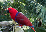 Colourful red and blue  parrot  on the perch
