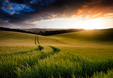 Summer landscape image of wheat field at sunset with beautiful l
