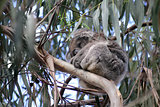 Australian Koala Bear sleeping