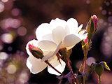White Tea Rose