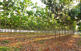 Rubber tree field
