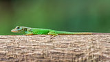 Little green gecko