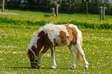 Pony horse eating grass