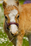 Sweet young horse foal