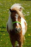 Pony horse on green grass