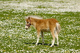 Horse foal on flower field