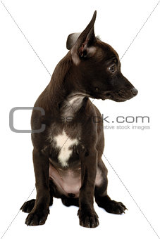 Black shy puppy dog