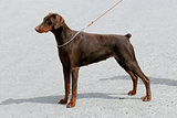 Typical Dobermann Brown