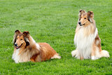 Two Collie Rough in a summer garden
