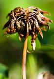 Dead Clover Flower