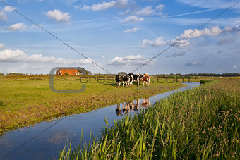 cattle on Dutch farmland