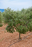 olive plants in summer on olive plantation