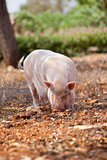 domestic pig mammal outdoor in summer