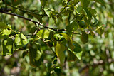 fresh tasty green limes on tree in summer outside