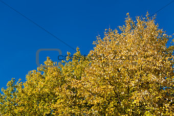 beautiful blue sky and yellow tree in autumn