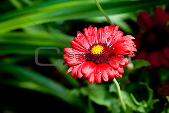 beautiful red gerbera flower in summer