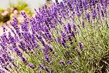 beautiful lavender flowers outside in summer