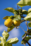 fresh lemons on lemon tree blue sky nature summer