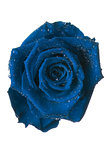 blue rose,flower isolated on white with drops