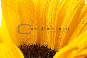 a sunflower with drops