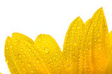 yellow sun flower isolated on white with drops