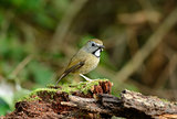 White-gorgetted Flycatcher (Ficedula monileger)