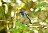 male Himalayan Bluetail (Tarsiger rufilatus)