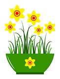 daffodils in pot