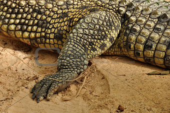 nile crocodile claws and skin detail