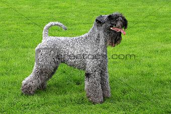 Portrait of Kerry Blue Terrier