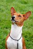 Basenji dog on a green grass lawn