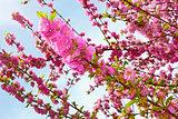 Sakura in springtime